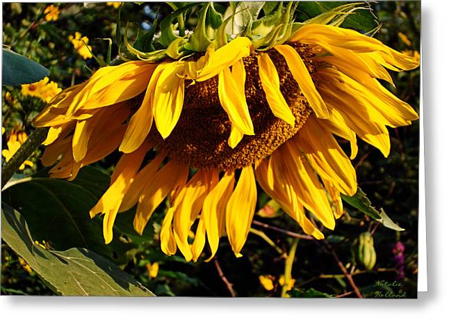 Artist Photographs Greeting Cards - Russian Sunflower Greeting Card by Natalie Holland