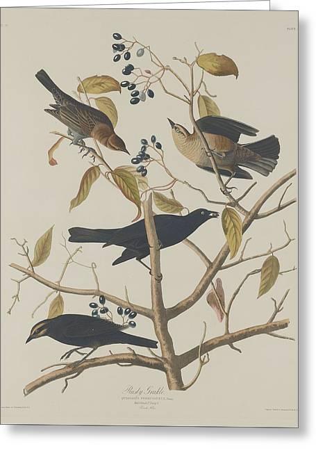 Rust Drawings Greeting Cards - Rusty Grackle Greeting Card by John James Audubon