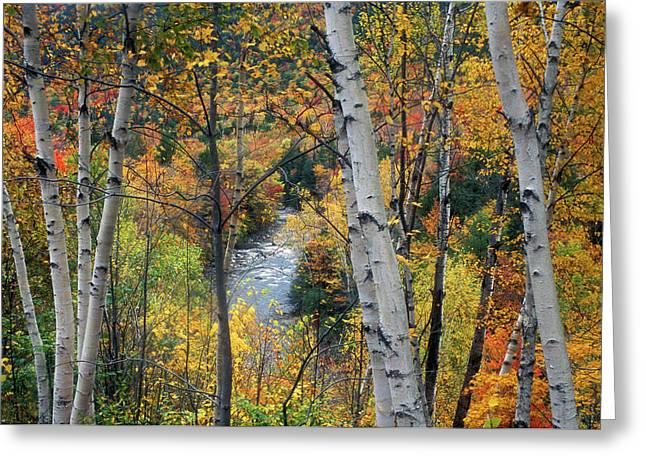 Saco River Greeting Cards - Saco River and Birches Greeting Card by John Burk
