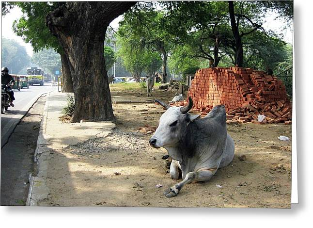 Sacred Cow Greeting Cards - Sacred Cow by the curb. Greeting Card by David L Griffin