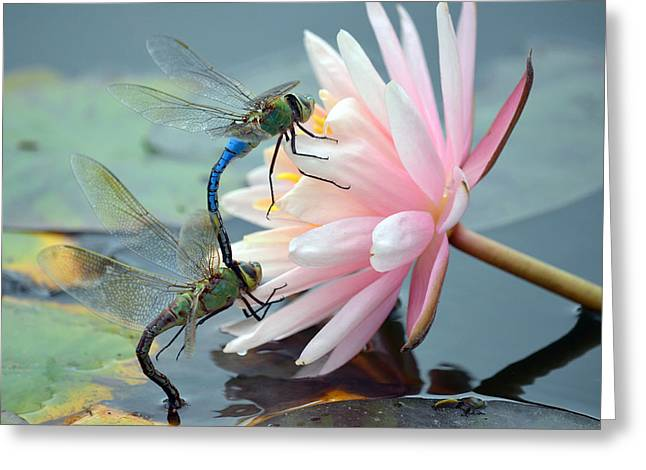 Green Darner Dragonflies Greeting Cards - Safe Place To Land Greeting Card by Fraida Gutovich