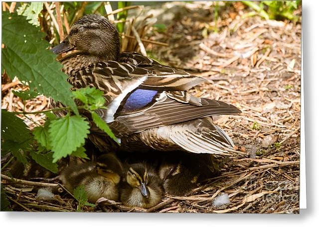 Caring Mother Greeting Cards - Safe Under Mother Ducks Wing Greeting Card by F Helm