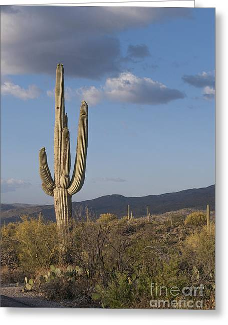 Cactus Flowers Greeting Cards - Saguaro Cactus Greeting Card by Juli Scalzi