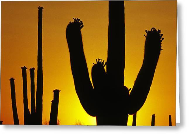Saguaro Sunset Greeting Card by Sandra Bronstein