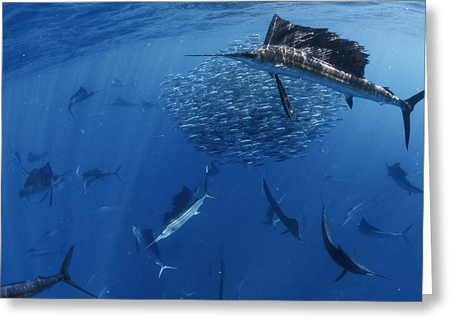 School Of Sardine Greeting Cards - Sailfish Drive Their Prey Greeting Card by Paul Nicklen