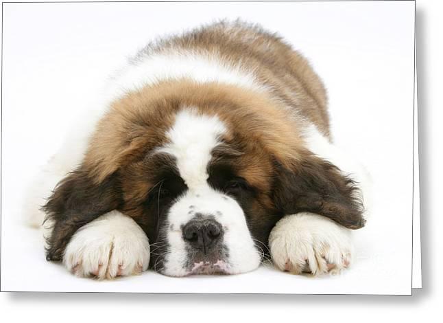 Sleeping Baby Animal Greeting Cards - Saint Bernard Puppy Sleeping Greeting Card by Mark Taylor