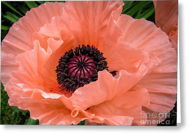 Close Focus Floral Greeting Cards - Salmon Oriental Poppy Greeting Card by Cheryl Baxter