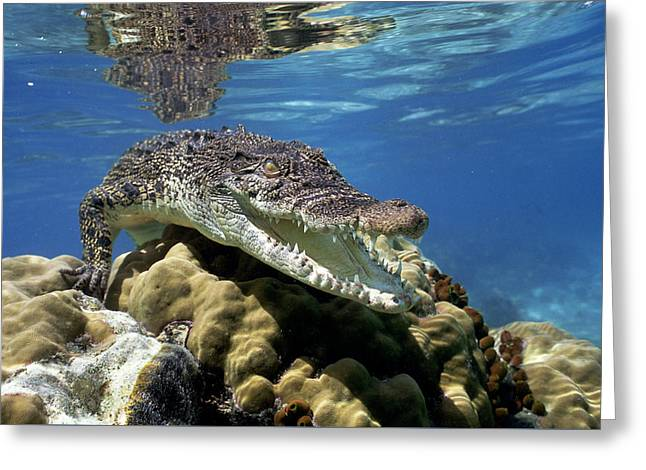 Saltwater Crocodile Smile Greeting Card by Mike Parry