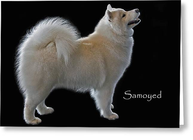 Bred Photographs Greeting Cards - Samoyed Greeting Card by Larry Linton