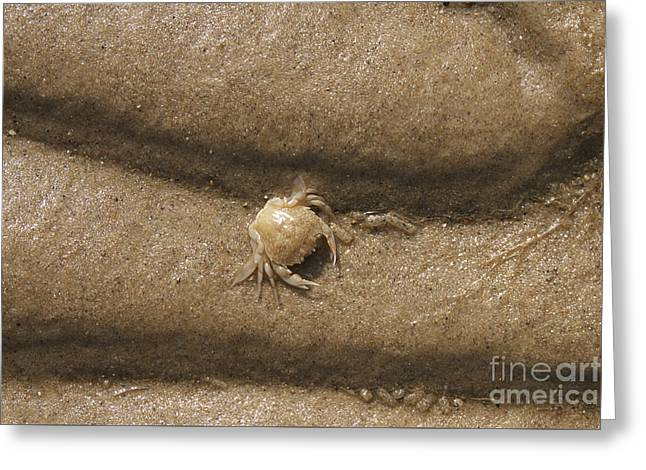 Sea Creature Pictures Photographs Greeting Cards - Sand Crab Greeting Card by Sally Lloyd