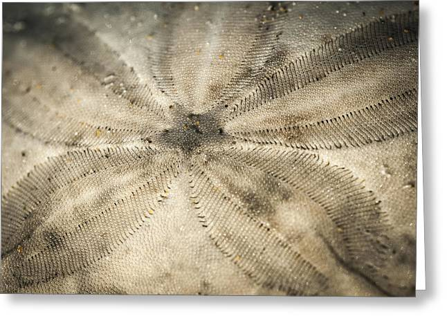 Sand Patterns Greeting Cards - Sand Dollar on the Beach Greeting Card by Robert Potts