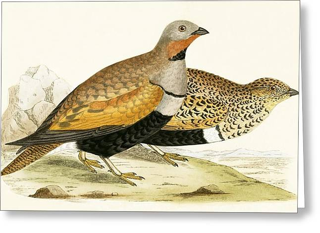Sand Grouse Greeting Card by English School