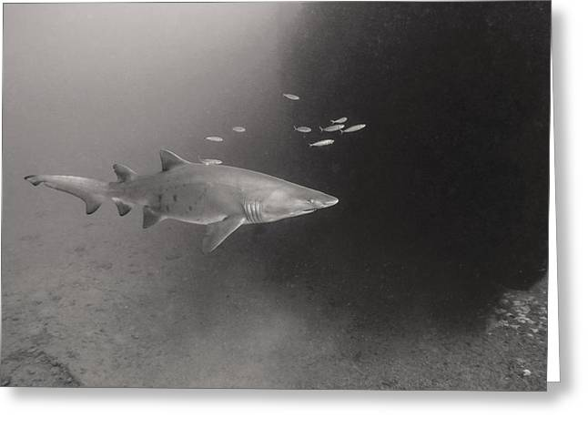 Undersea Photography Greeting Cards - Sand Tiger Escort Greeting Card by Joe Quinn