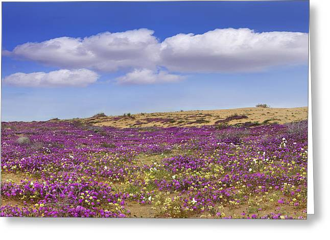 Nyctaginaceae Greeting Cards - Sand Verbena Carpeting The Ground Greeting Card by Tim Fitzharris