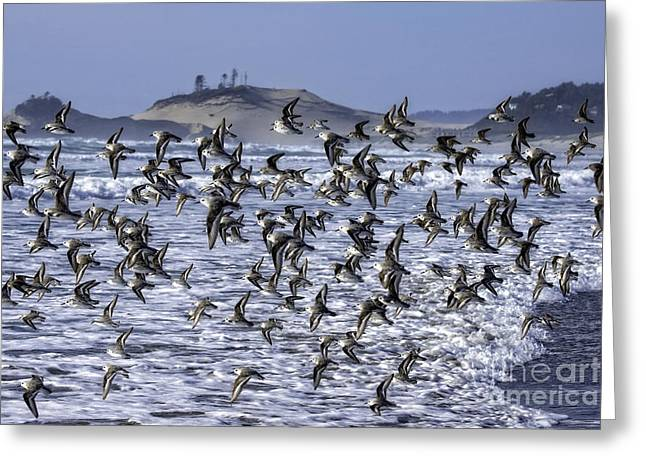 Tim Moore Greeting Cards - Sanderlings at the Cape Greeting Card by Tim Moore