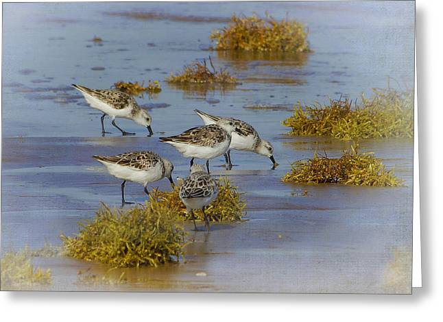 Wadingbird Greeting Cards - Sanderlings - Sargent - Texas Greeting Card by TN Fairey