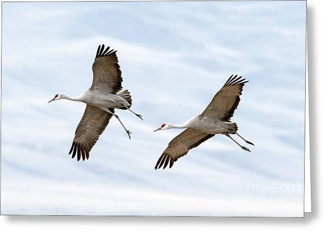 Glide Greeting Cards - Sandhill Crane Approach Greeting Card by Mike Dawson
