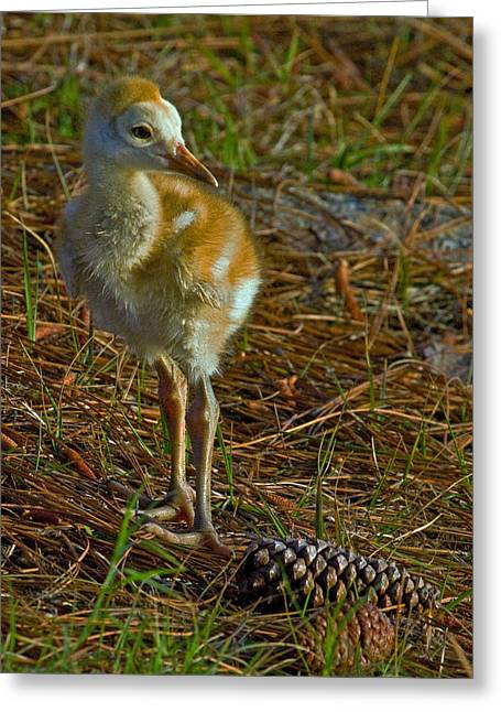 Sandhill Crane Chick Greeting Cards - Sandhill Crane Chick Greeting Card by Larry Linton