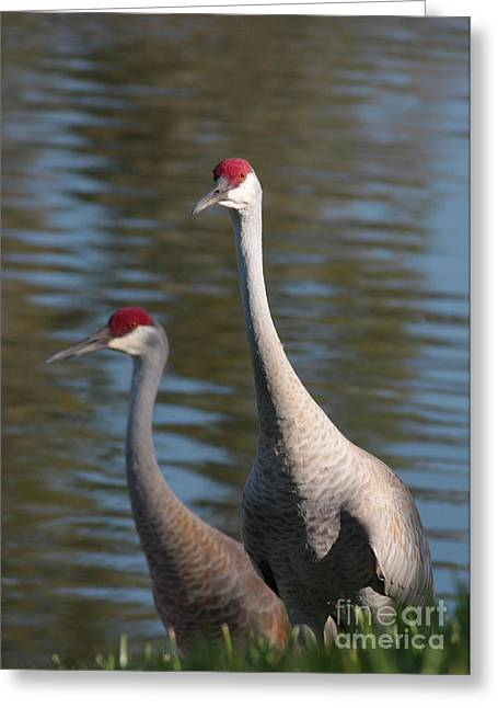Sandhill Cranes Greeting Cards - Sandhill Crane Couple by the Pond Greeting Card by Carol Groenen