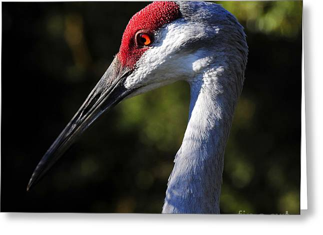 Sandhill Cranes Greeting Cards - Sandhill Crane Greeting Card by David Lee Thompson
