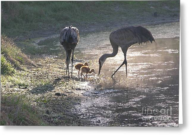 Feeding Birds Photographs Greeting Cards - Sandhill Crane Family in Morning Sunshine Greeting Card by Carol Groenen