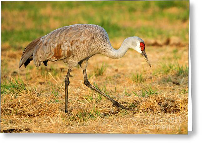 Sandhill Crane Grazing Greeting Card by Mike Dawson