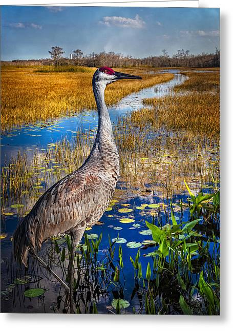 Cranes In Florida Greeting Cards - Sandhill Crane in the Glades Greeting Card by Debra and Dave Vanderlaan