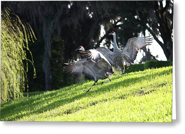 Back Yard Birds Greeting Cards - Sandhill Crane Landing 3 Greeting Card by Carol Groenen