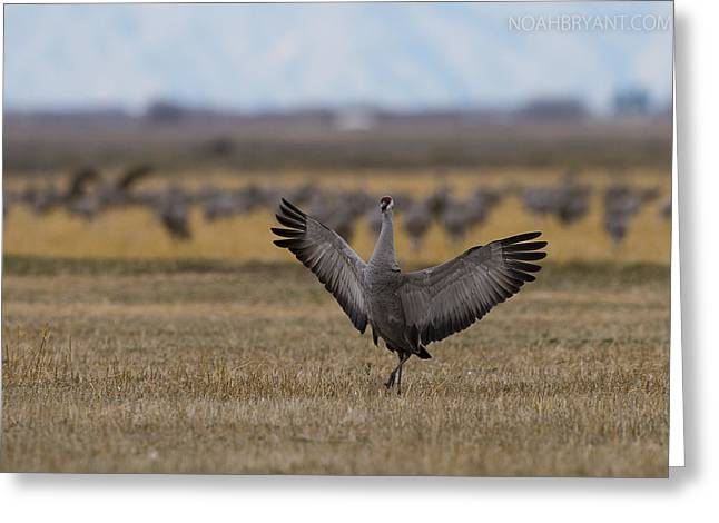 Cranes Greeting Cards - Sandhill Crane Greeting Card by Noah Bryant