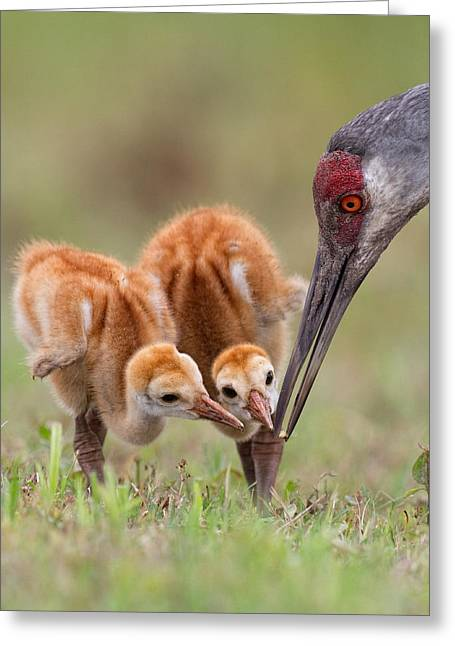 Chick Greeting Cards - Sandhill Crane With Chicks Greeting Card by Alfred Forns