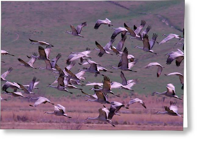 SANDHILL CRANES  Greeting Card by Jeff  Swan