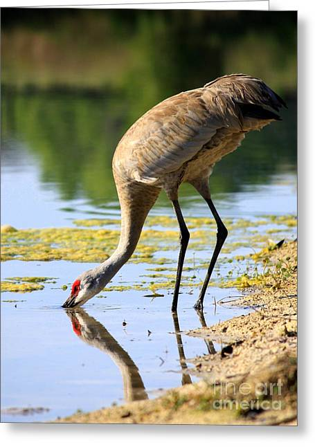 Sandhill Cranes Greeting Cards - Sandhill Dipping in the Pond Greeting Card by Carol Groenen