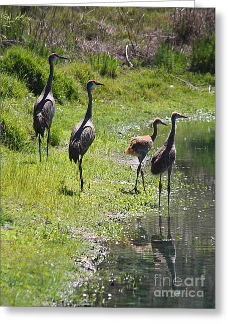 Sandhill Cranes Greeting Cards - Sandhill Family by the Pond Greeting Card by Carol Groenen
