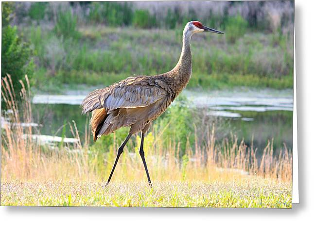 Sandhill Cranes Greeting Cards - Sandhill in the Sunshine Greeting Card by Carol Groenen