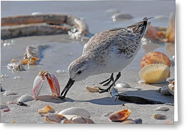 Shore Bird Greeting Cards - Sandpiper Greeting Card by Alan Lenk