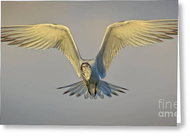 Tern Greeting Cards - Sandwich Tern in Flight Greeting Card by Marjie Goldberg
