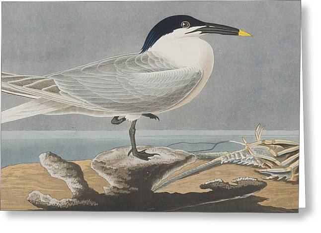 Sandwich Tern Greeting Card by John James Audubon