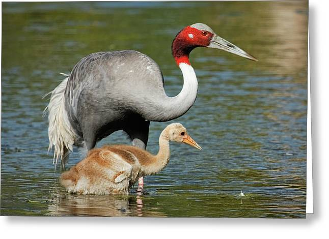 Print Photographs Greeting Cards - Sarus Crane Family Portrait Greeting Card by Dawn Currie