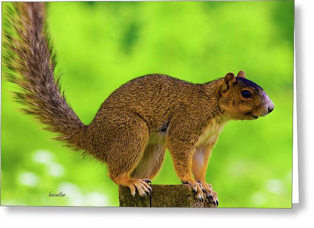 Fox Squirrel Greeting Cards - Sass Greeting Card by Betsy C  Knapp