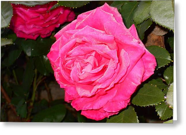 Dew Covered Flower Greeting Cards - Satin Rose Greeting Card by Kathy Franklin