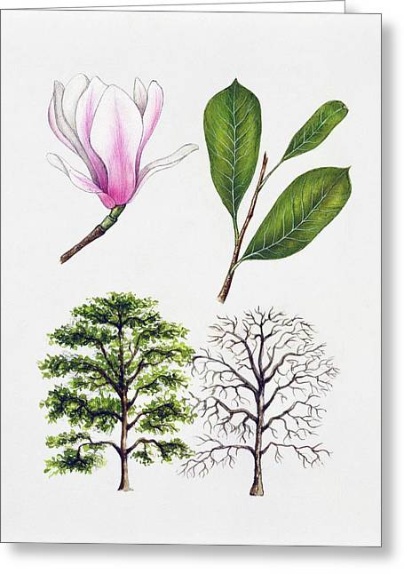 Saucer Magnolia Greeting Card by Unknown