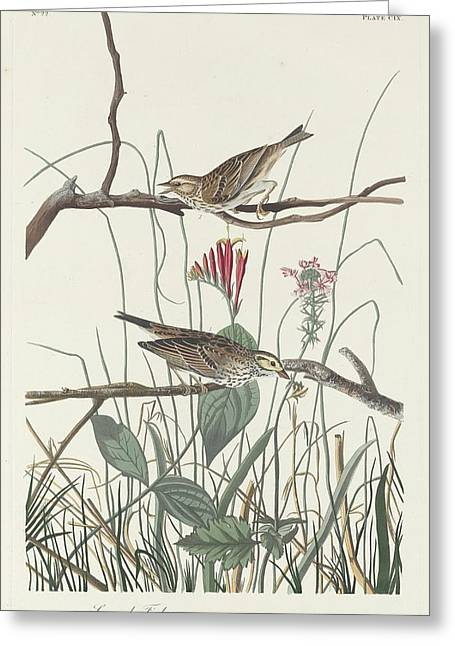 Small Bird Greeting Cards - Savannah Finch Greeting Card by John James Audubon