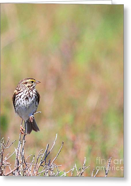 Sparrow Greeting Cards - Savannah Sparrow . 40D5883 Greeting Card by Wingsdomain Art and Photography