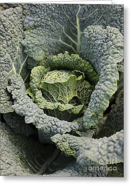 Grocery Store Greeting Cards - Savoy Cabbage in the Vegetable Garden Greeting Card by Carol Groenen