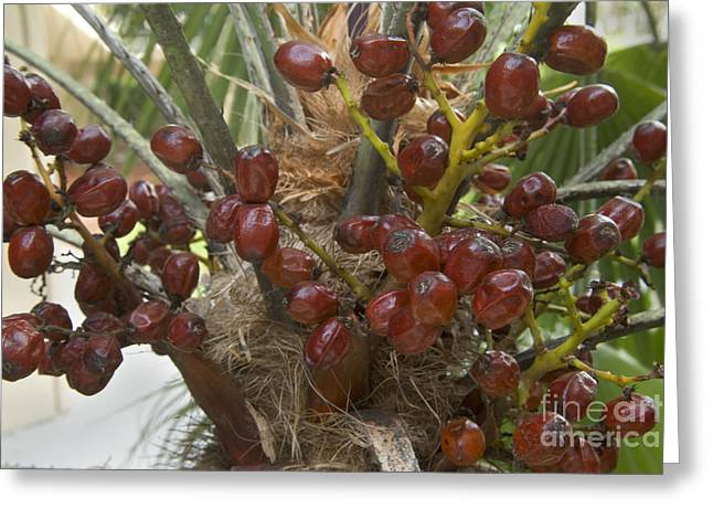 Saw Greeting Cards - Saw Palmetto Berries Greeting Card by Inga Spence