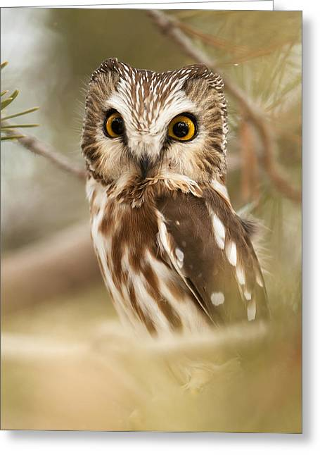 Recently Sold -  - Saw Greeting Cards - Saw Whet Owl Greeting Card by Amy Gerber