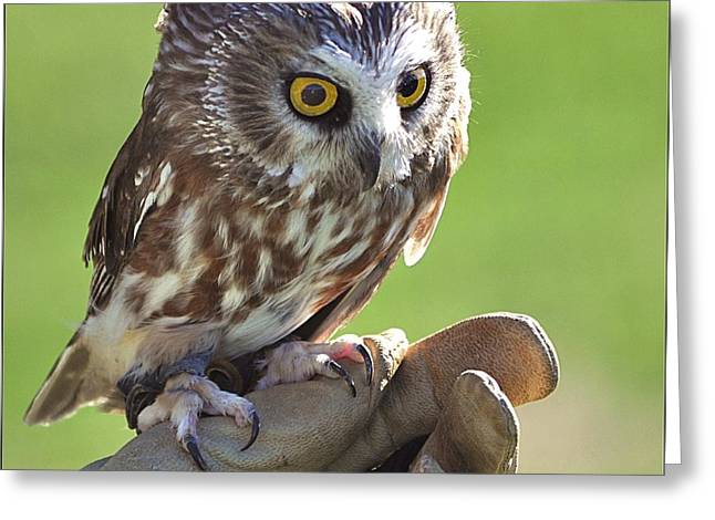 Saw Greeting Cards - Saw-Whet Owl Greeting Card by Kevin Hertle