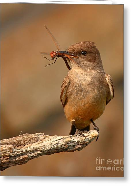 Phoebe Greeting Cards - Says Phoebe Pausing With Freshly Caught Red Dragonfly In Beak Greeting Card by Max Allen