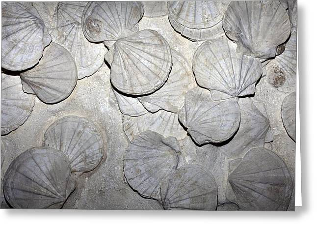 Fossilized Shell Greeting Cards - Scallop Fossils Greeting Card by Dirk Wiersma
