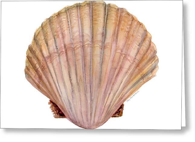 Clam Greeting Cards - Scallop Shell Greeting Card by Amy Kirkpatrick